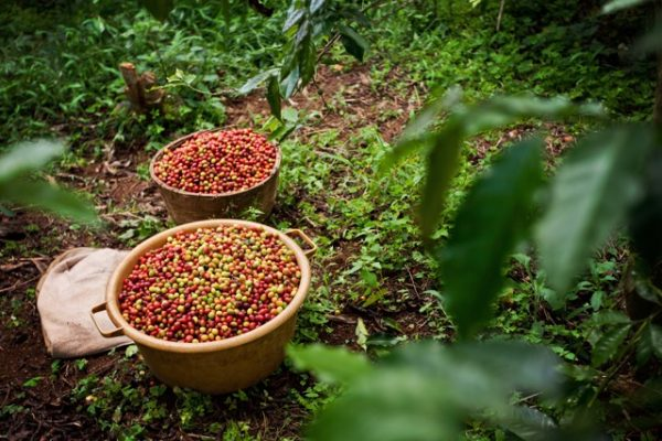 Rwandan Picked coffee cherries