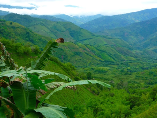 Colombian Excelso coffee growing