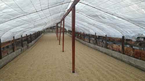 Guatemalan Coban drying
